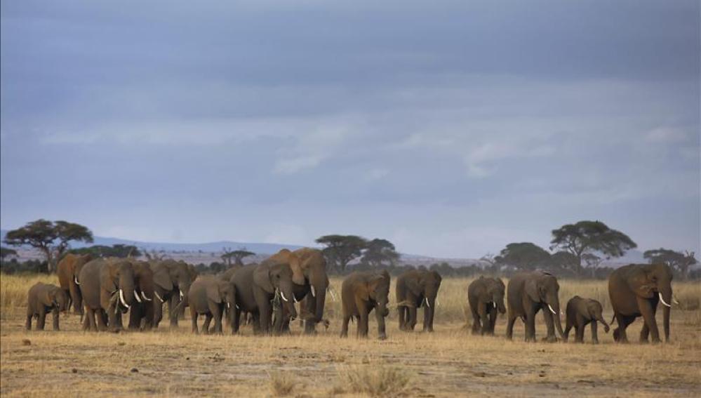 Manada de elefantes en África