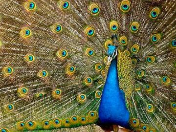 los colores del pavo real se deben tanto a fenómenos químicos (pigmentos) como físicos (microestructura de las plumas)