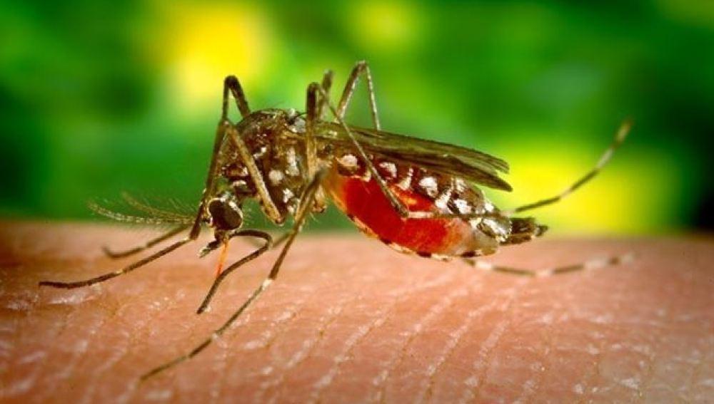 Mosquito portador del dengue