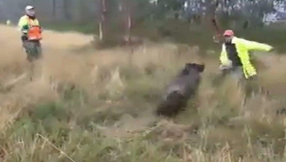 Un jabalí apunto de arrollar a un cazador gallego