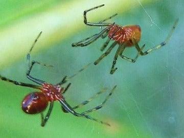 Arañas Anelosimus studiosus