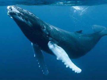 Imagen de archivo de una ballena azul