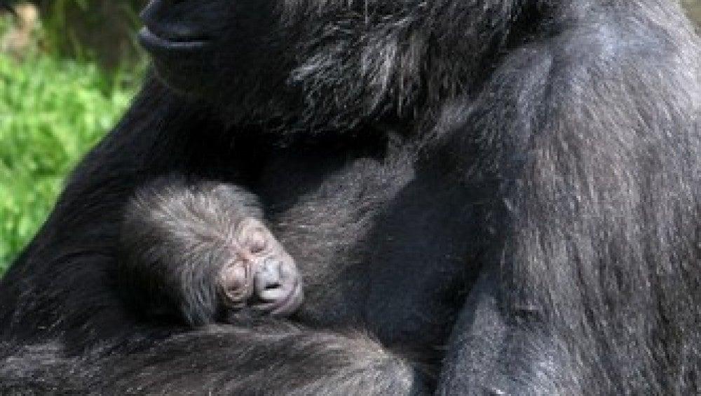 La gorila Makena con su cría.