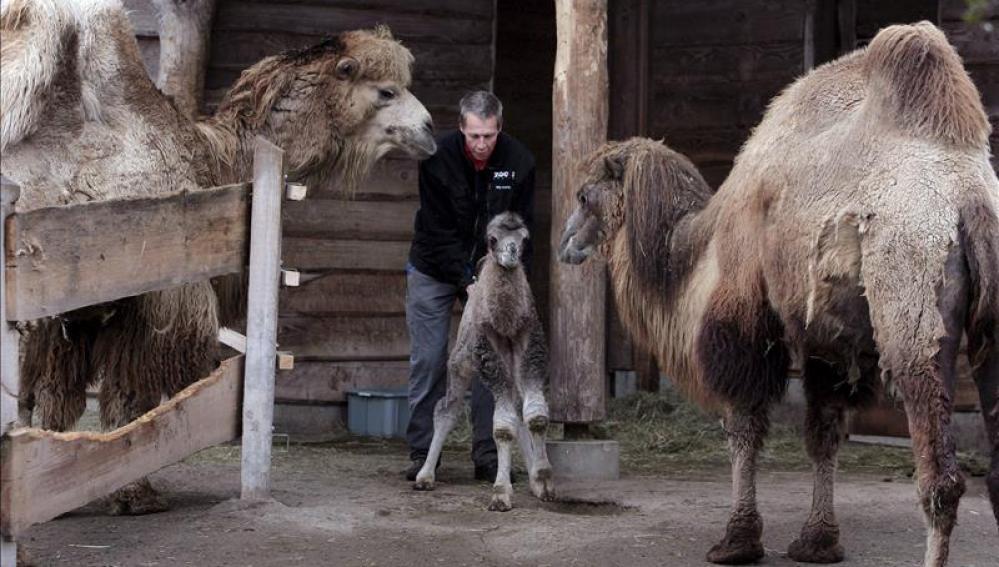 Imagen de un joven camello bactriano, de dos jorobasImagen de un joven camello bactriano, de dos jorobas