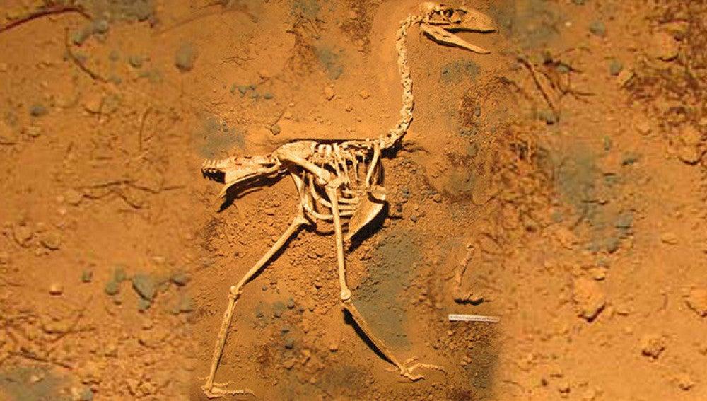 Fósiles de ave del terror sudamericana llamada 'Llallawavis scagliai'