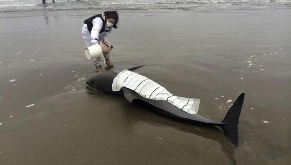 Delfines varados en Hokota, Japón