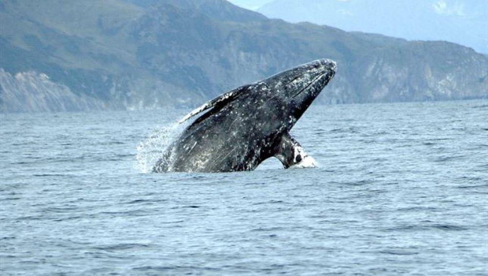 Una ballena gris bate el récord de migración entre mamíferos