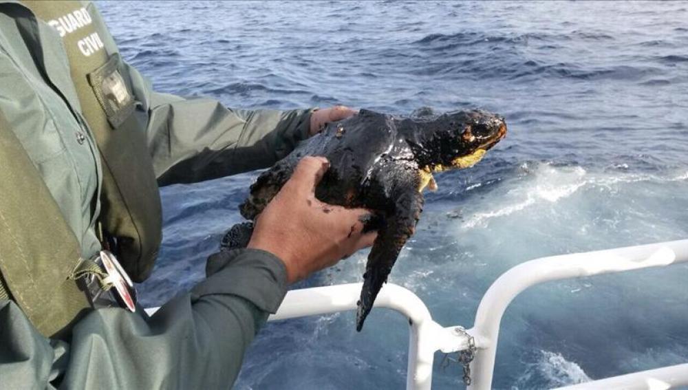 Rescatada en la zona del barco ruso una tortuga impregnada de combustible