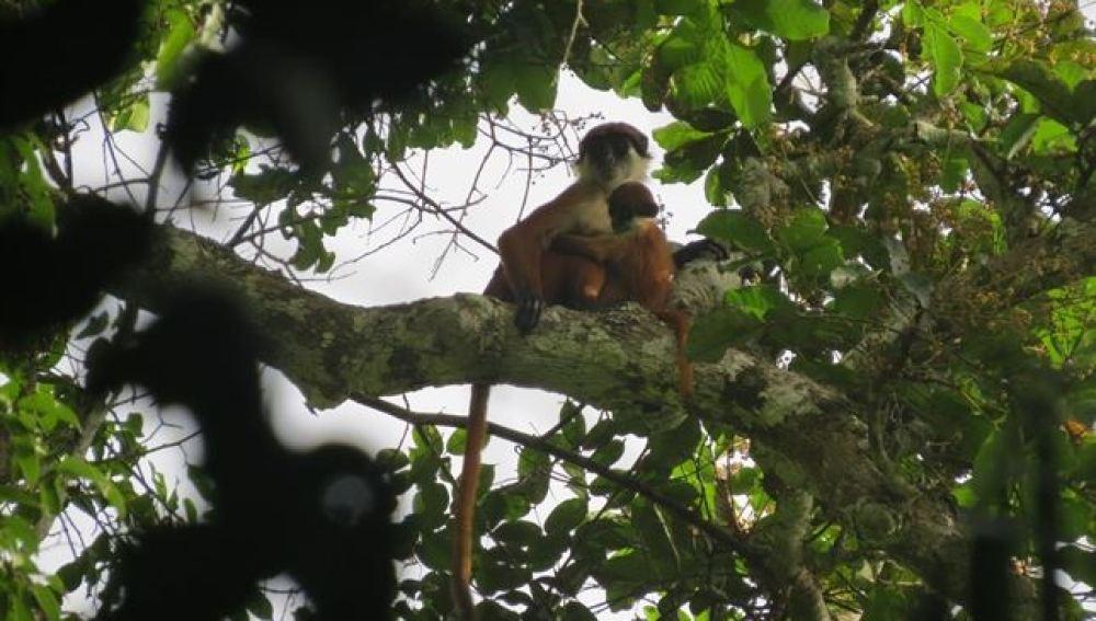 Mono rojo de Bouvier