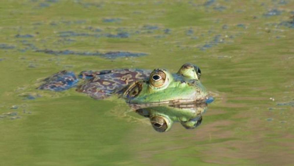 La polución amenaza con extinguir a la rana gigante del lago Titicaca
