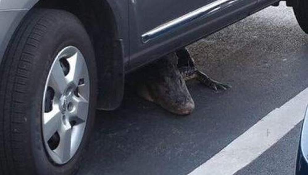 Un hombre se encuentra a un caimán en su coche