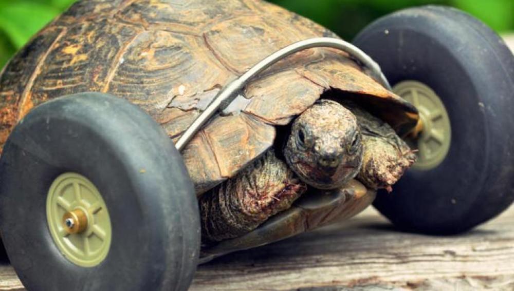 Una tortuga vuelve a caminar gracias a unas ruedas implantadas en sus patas