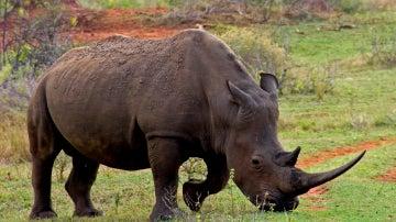 El cuerno de rinoceronte, más caro que el oro o la cocaína
