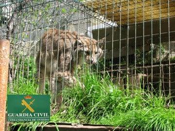 Recuperados cuatro leones, más de 100 tortugas y una cobra en una operación mundial contra el tráfico ilegal de animales