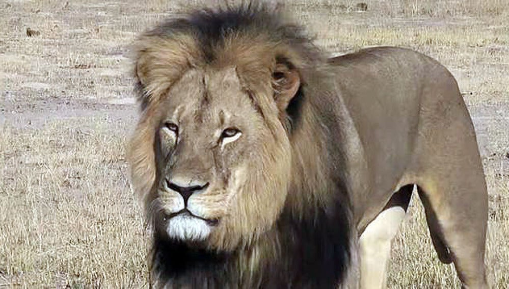 'Cecil', el león más fotografiado de Zimbabue