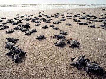 Crías de tortugas marinas