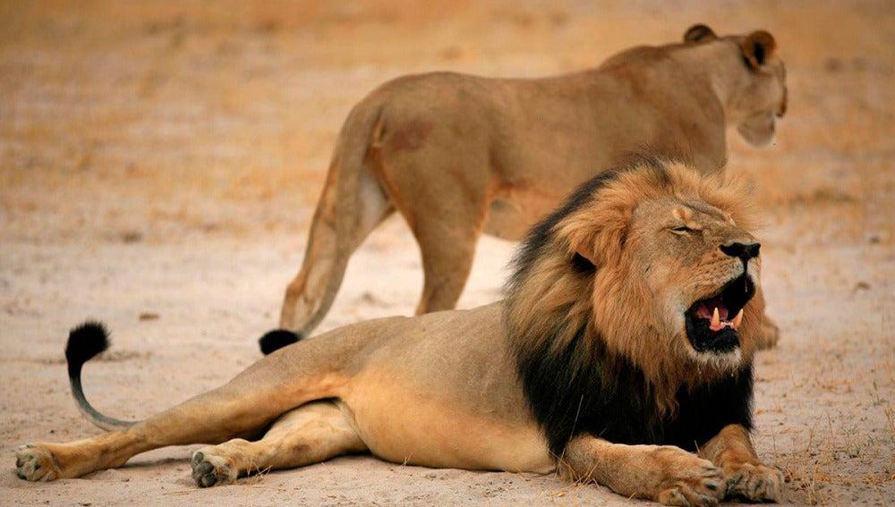Cecil, el león más famoso de Zimbabue, en una imagen de archivo