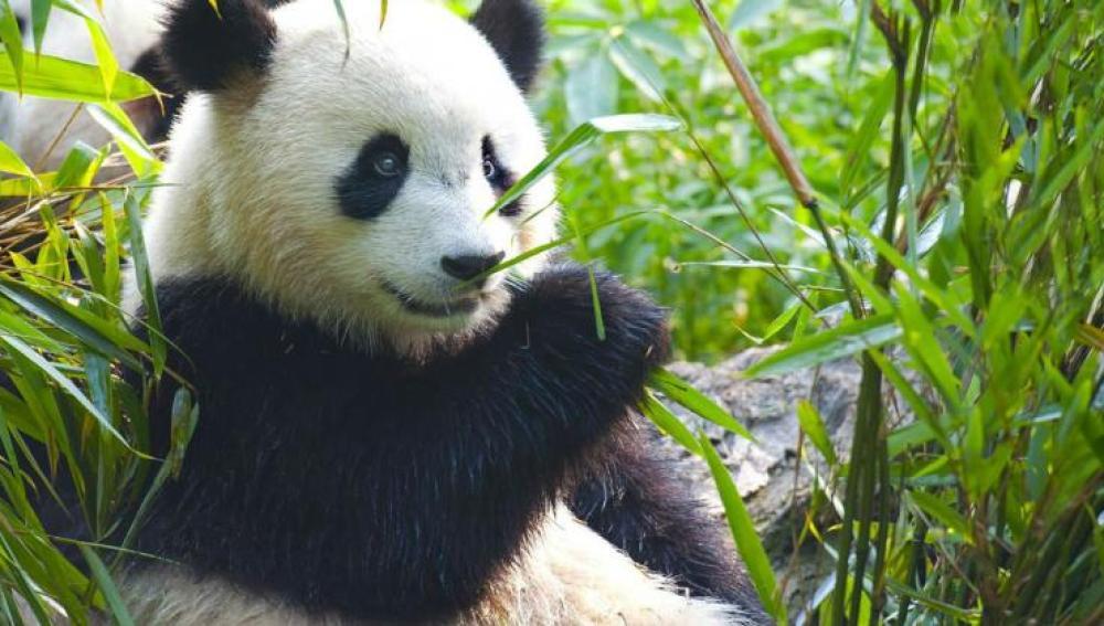 Oso panda del Zoo de Madrid