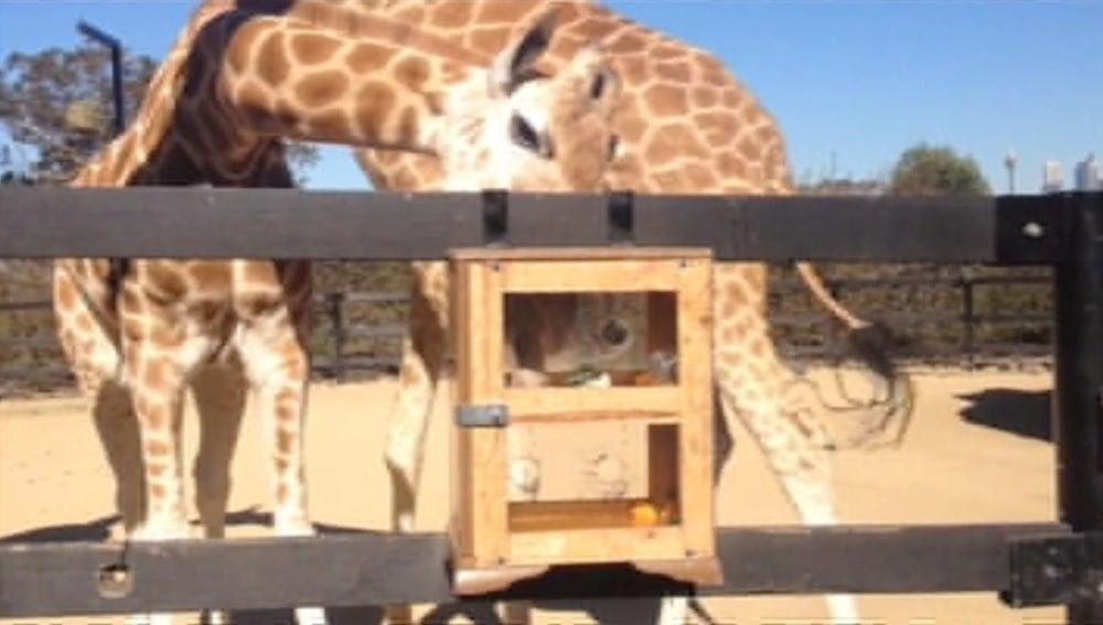 Una jirafa consiguiendo una golosina en un zoo australiano