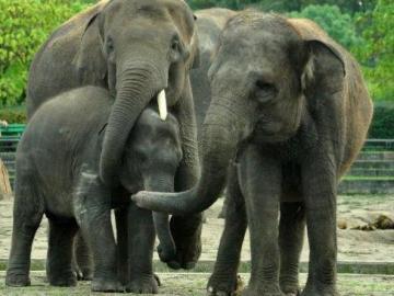 Nueva familia de elefantes en el Zoo de Madrid