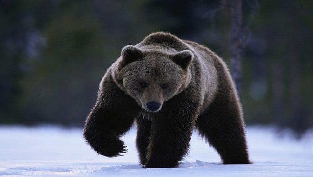 Un ejemplar de oso negro