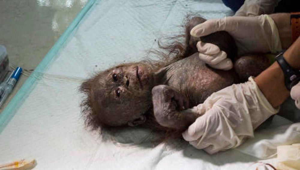 El orangután se encontraba deshidratado y desnutrido
