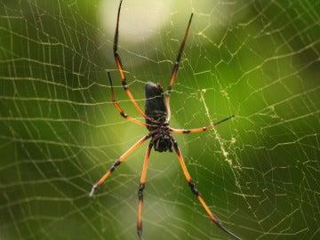 Araña de la especie 'Nephila inaurata'
