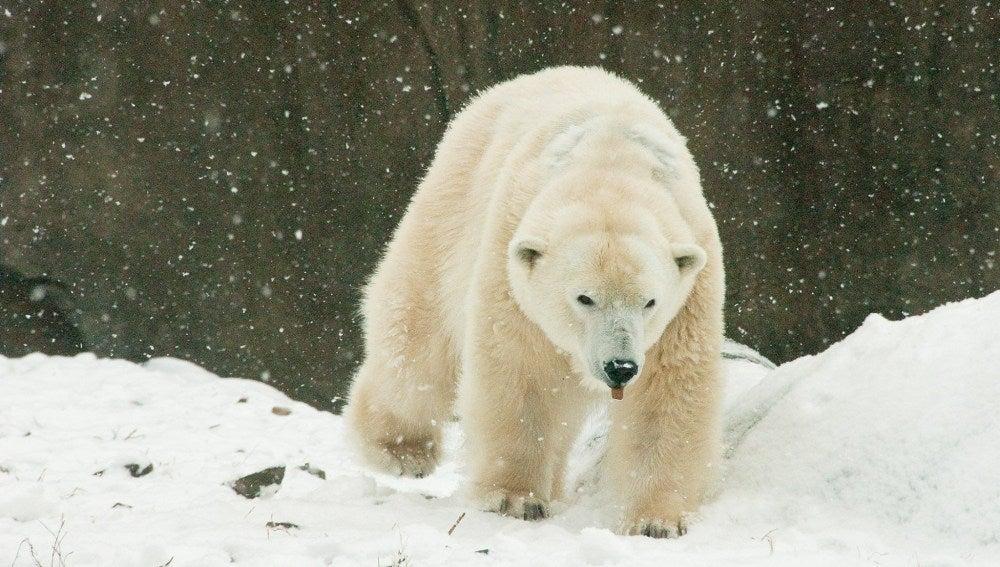 Klondike, el oso polar más viejo de EEUU