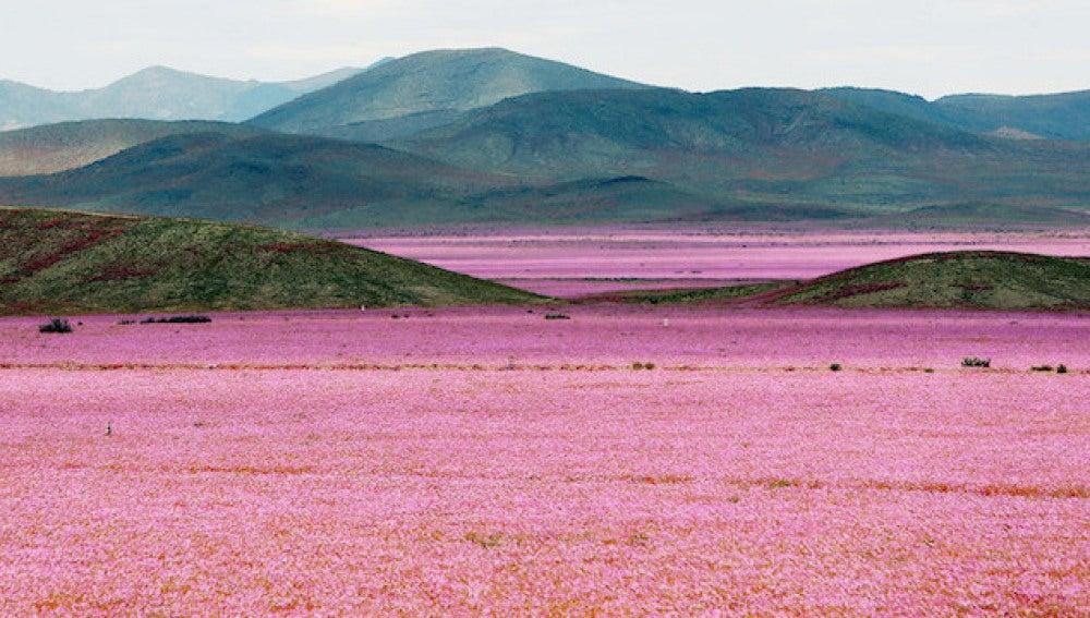 El desierto chileno de Atacama florece cubierto de rosa
