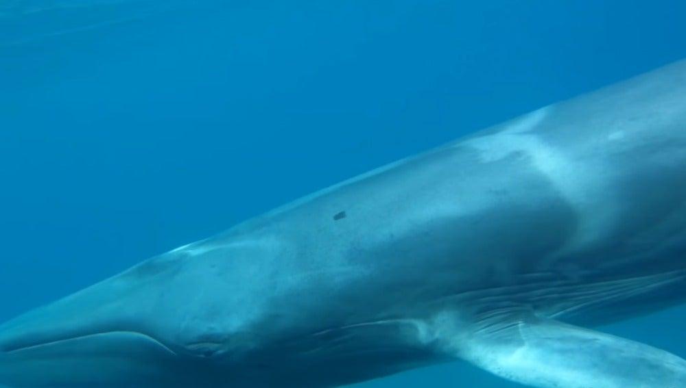 Ballena de la especie Omura captada por primera vez en libertad