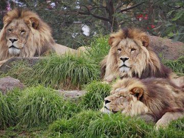 Tres leones descansando
