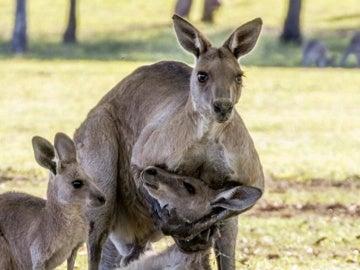 Un canguro macho sostiene a una hembra