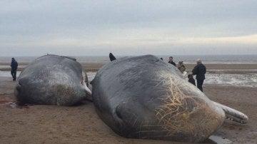 Dos de los tres cachalotes muertos en Reino Unido
