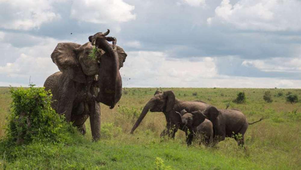 Un elefante lanza a un búfalo de 500 kg por los aires