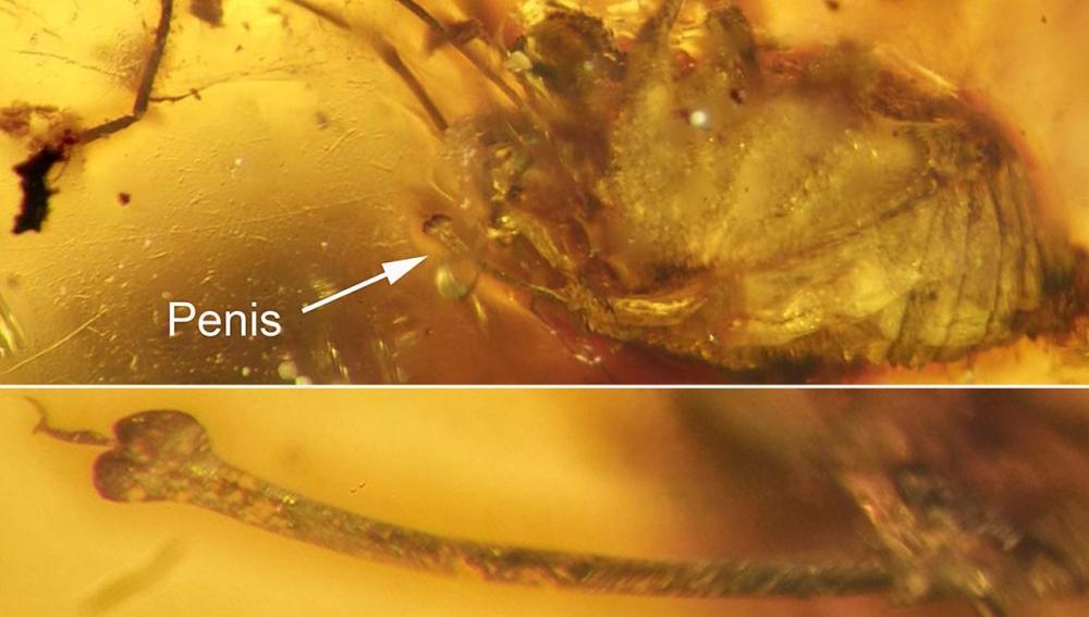 Erección de arácnido conservada durante 99 millones de años