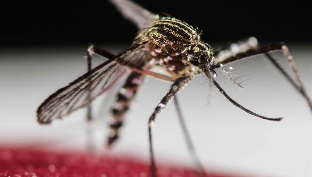 Mosquito Aedes Aegypti, transmisor del virus Zika