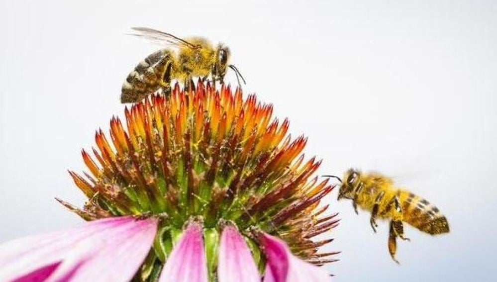 Greenepace lanza una campaña de firmas para salvar a las abejas