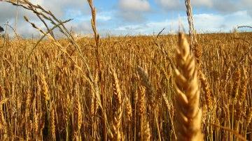 Campo de trigo, uno de los cereales que