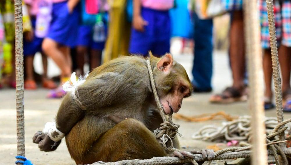 El mono arrestado ante los vecinos de un barrio de Mumbai (India)
