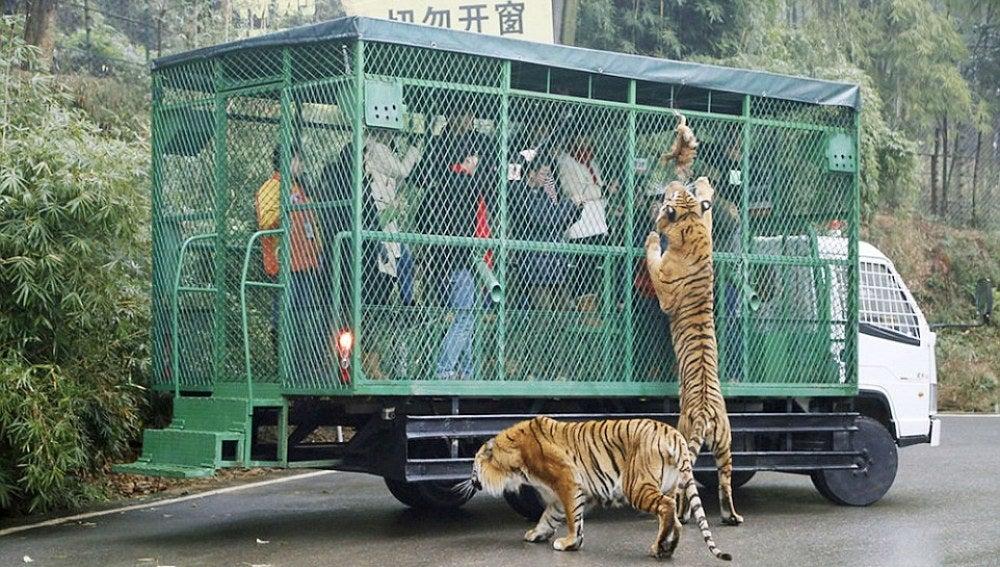 Los tigres intentando alcanzar la comida
