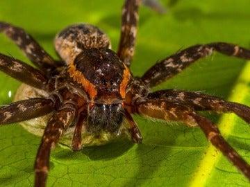 Descubren una especie de araña gigante que puede nadar y comer sapos