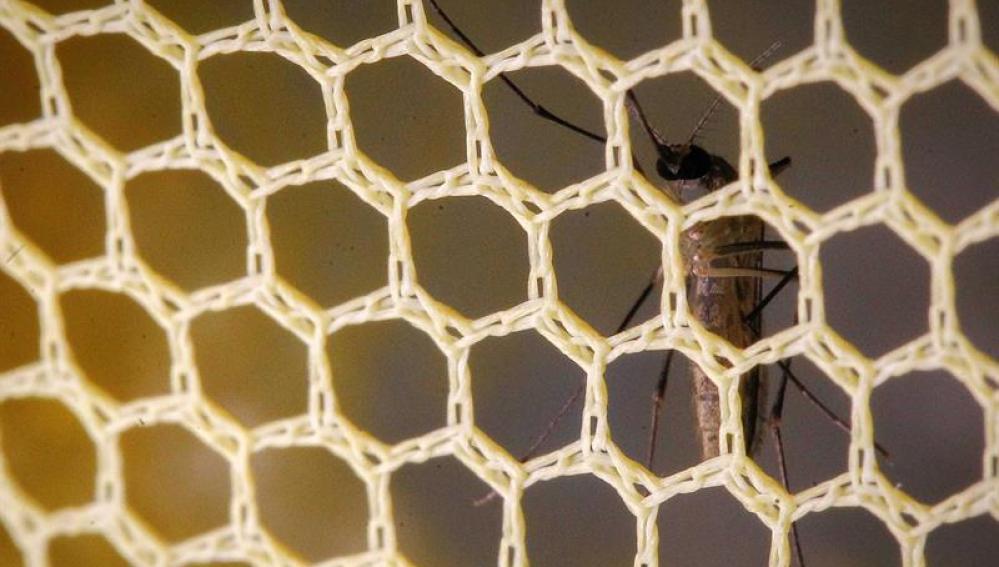Un mosquito virus Zika