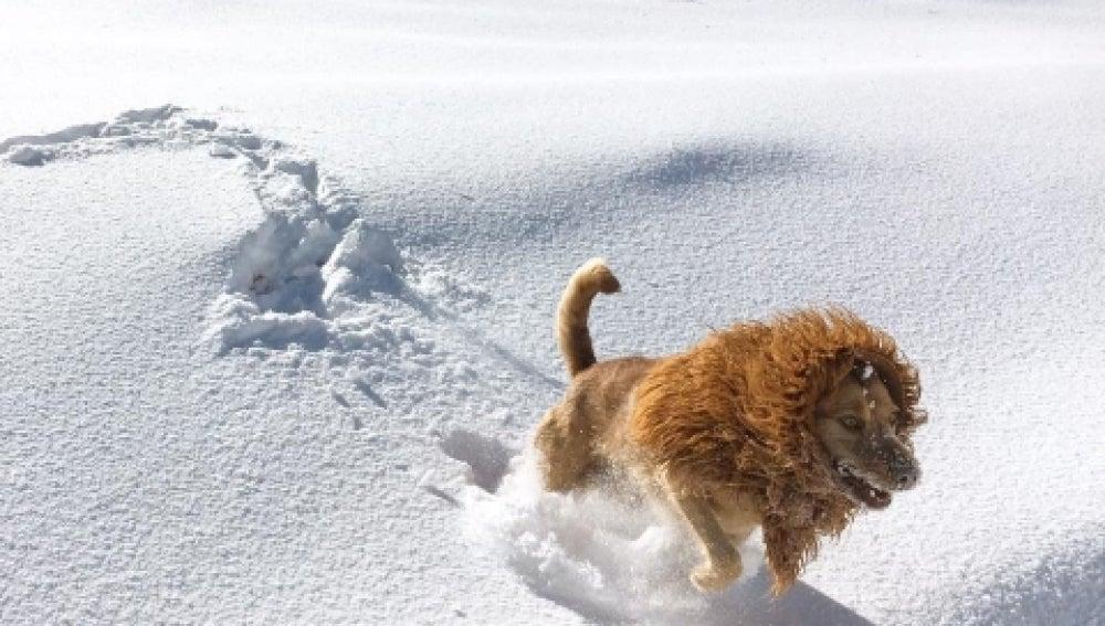 El perro de ciudad convertido en león