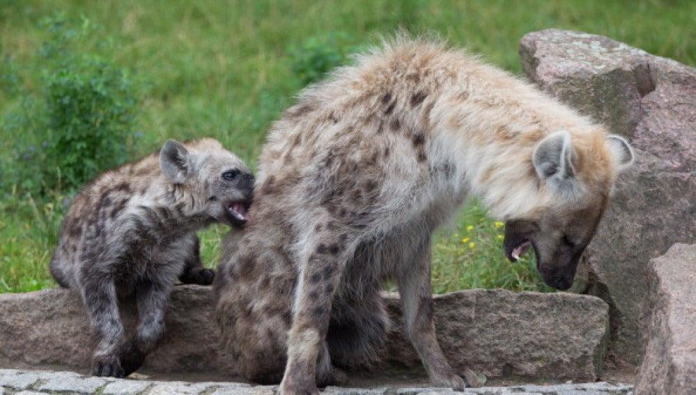 Dos hienas