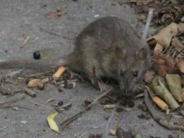 Una rata en las calles de Nueva York