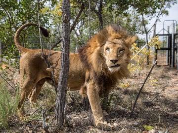 León en una reserva de Sudáfrica