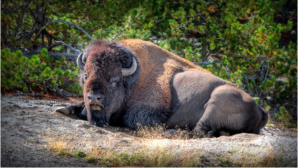 Un bisonte en Yellowstone National Park