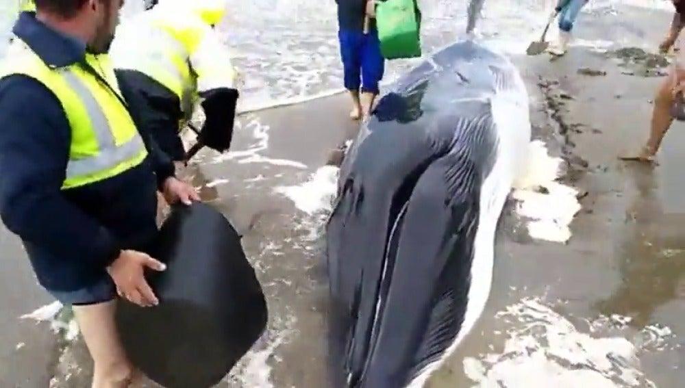 Frame 8.792467 de: Aparece varada una cría de ballena de 7 metros y 4 toneladas