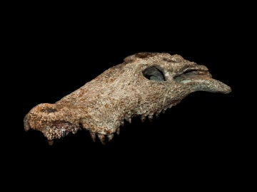 Imagen del 'Agaresuchus fontisensis'