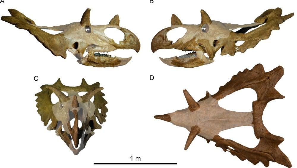 Así sería el nuevo dinosaurio, 'Spiclypeus shipporum'